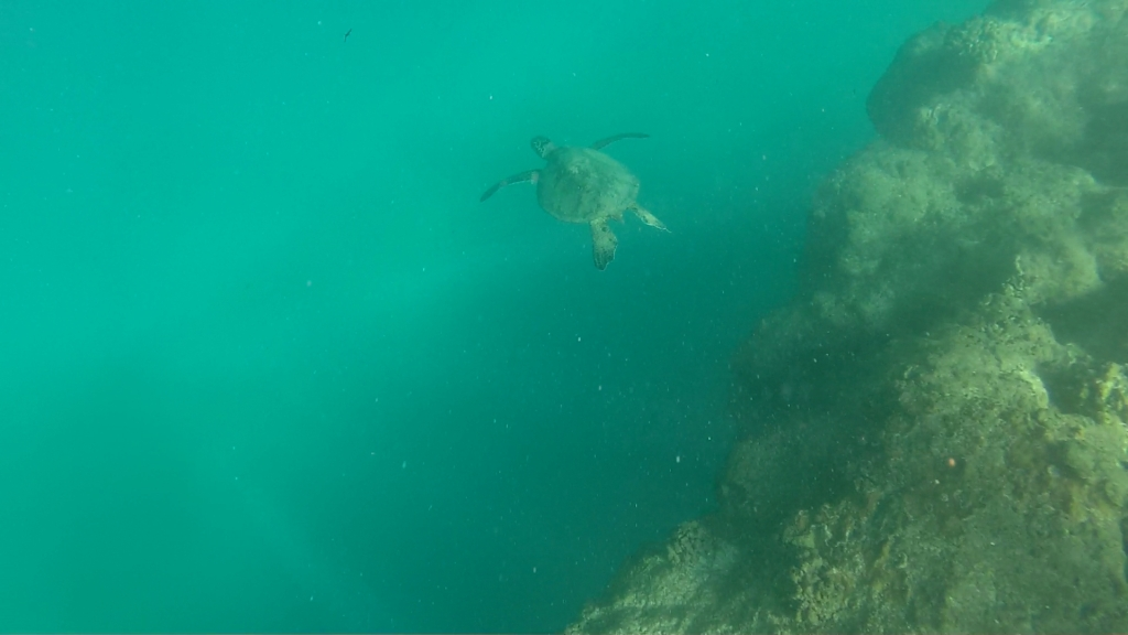 Turtle at Tunnels Beach.